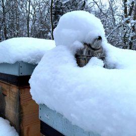 Honigbienen im Winter